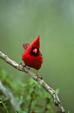 Male Northern Cardinal on Branch