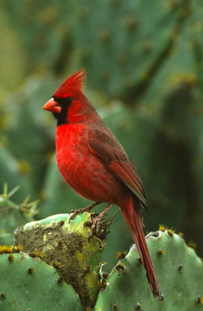 cardinal bird: Male Northern Cardinal on Cactus Stock Photo