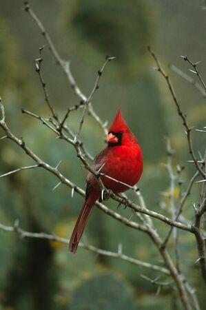 Male Northern Cardinal Banco de Imagens