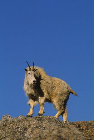cabra montes: Majestic cabra