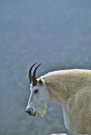 cabra montes: Cabra cerrar