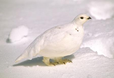 Ptarmigan in Winter Foto de archivo