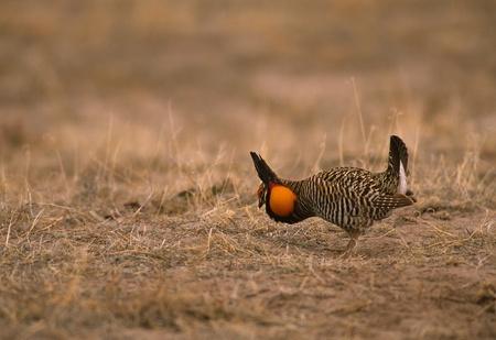 Strutting Male Prairie Chicken Stock Photo - 8929658