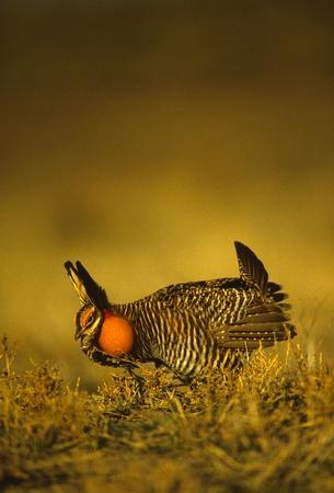 Male Prairie Chicken Strutting