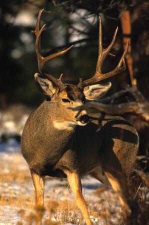 Nice Mule Deer Buck Фото со стока