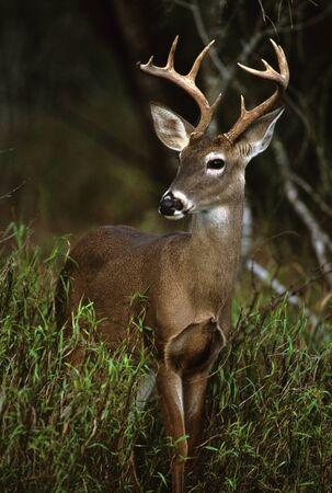 Whitetail Buck Close Up photo