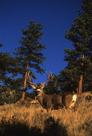 Mule Deer buck in Meadow Фото со стока - 9030493