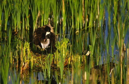 preening: Canada Goose on Nest Preening