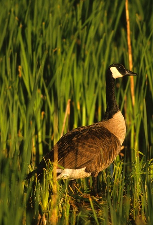 canada goose: Canada Goose in Green Cattails Stock Photo