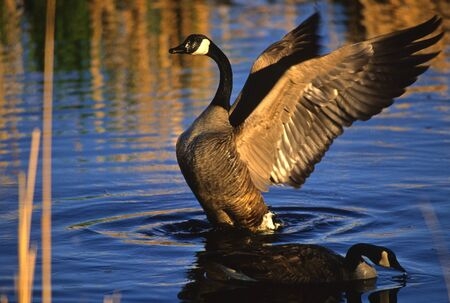 canada goose: Canada Goose with Wings Spread