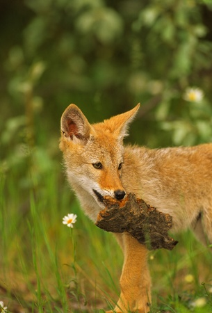 hunter playful: Playful Coyote Pup