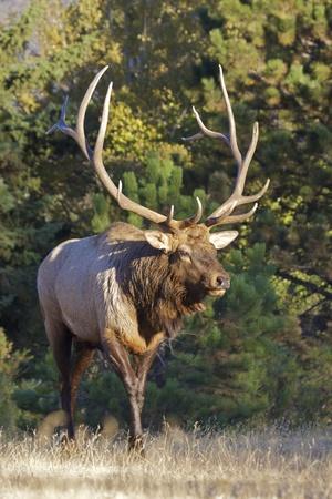 alce: Bull Elk a piedi Archivio Fotografico