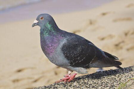 Common Pigeon on Beach Stock Photo - 9030563