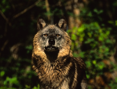 オオカミを見て意味します。 写真素材