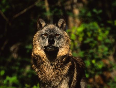 Dire alla ricerca di lupo Archivio Fotografico - 9030599