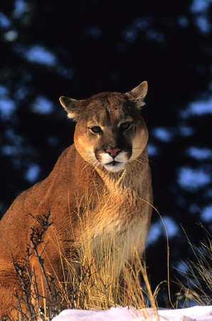 Mountain Lion Close Up Stock Photo - 9162693