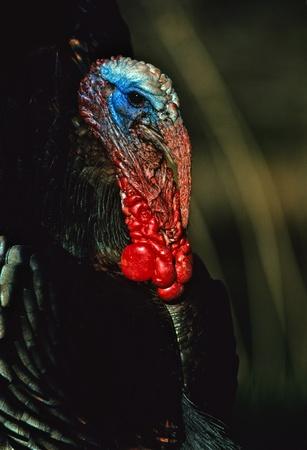 Wild Turkey Gobbler Portrait Stock Photo - 9162713