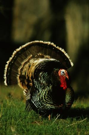 strutting: Wild Turkey Gobbler Strutting