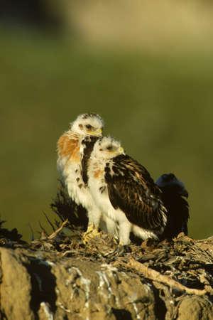 ferruginous: Young Ferruginous Hawks on Nest