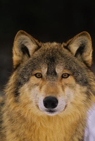 オオカミの肖像画 写真素材