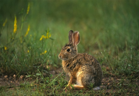 Cute cCottontail Stock Photo