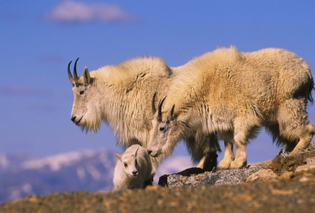 berggeit: Berggeit familie op Ridge Stockfoto