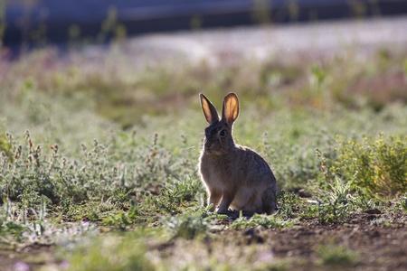 Cottontail Rabbit Backlit Imagens