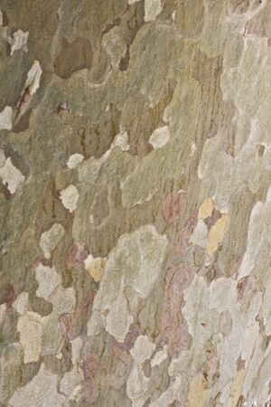 sicomoro: Sycamore Tree Bark