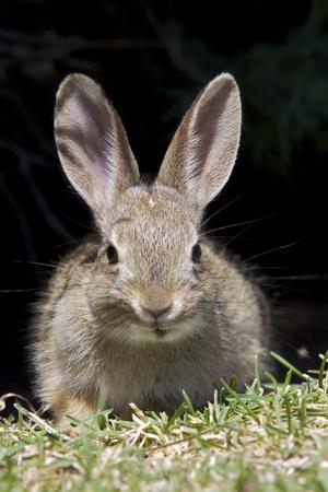 Baby Cottontail Rabbit with dark Background photo