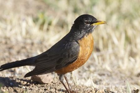 Amerikaanse Robin