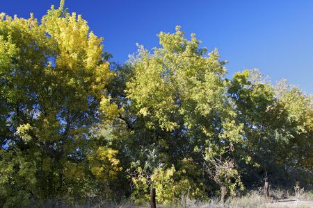 cottonwood  tree: Cottonwoods in Early Fall