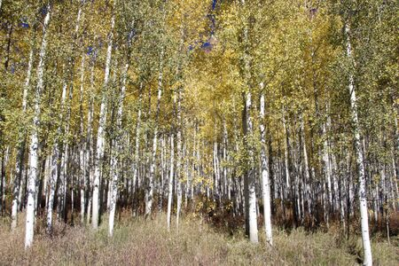 Aspen Grove in Autumn photo