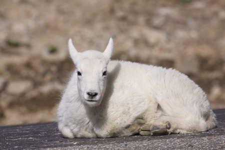 Bedded Mountain Goat Kid photo