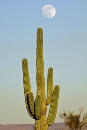 moon  desert: Saguaro Cactus and Full Moon