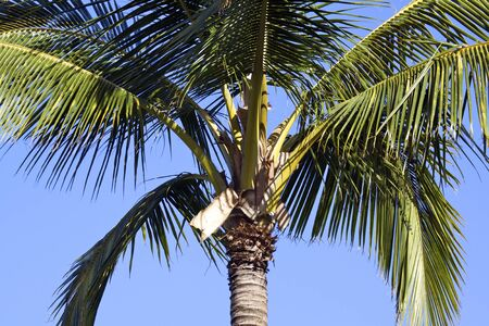 Coconut Palm Close Up