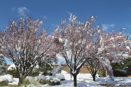 Snow Covered Blossoming Trees