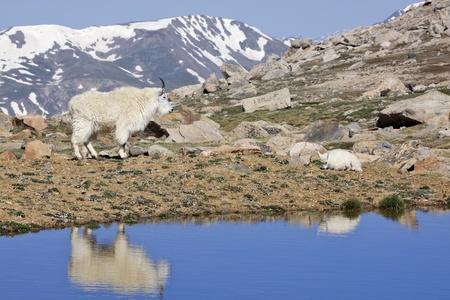 berggeit: Vrouw Mountain Goat en Baby buurt van Pond