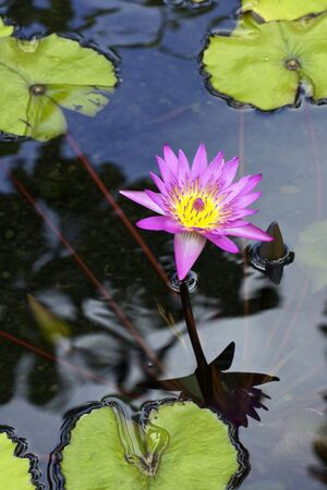 Colorful Water lilly Stock Photo - 13698058