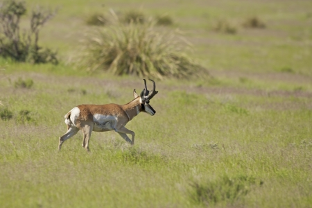 riek: Pronghorn Antelope Buck Trotting Stockfoto