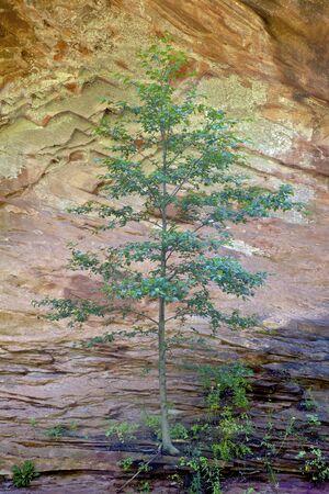 lone pine: Lone Pine Against Rock Wall Foto de archivo