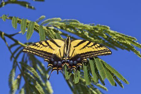 swallowtail: Swallowtail Butterfly