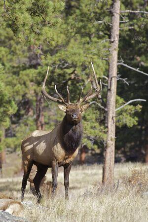 rut: Bull Elk Standing Head on
