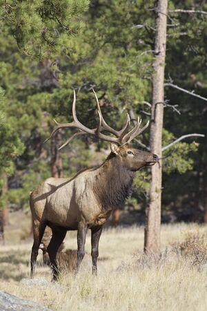 alce: Bull Elk Archivio Fotografico
