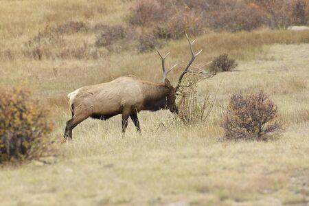 rut: Bull Elk in Rut Tearing up Bush Stock Photo