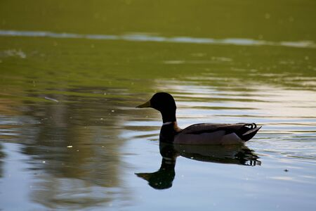 silhouetted: Mallard Silhouetted Stock Photo
