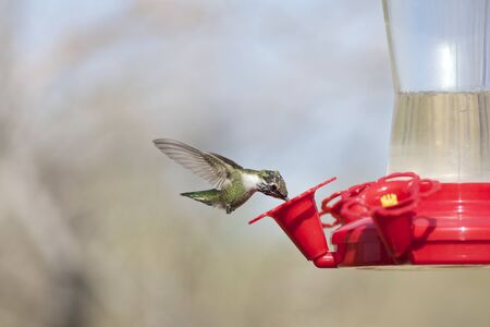diminutive: Hummingbird at Backyard Feeder