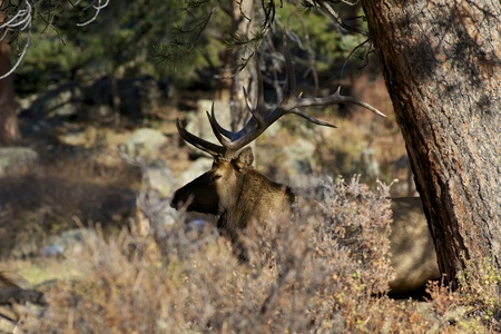 Bull Elk Hidden Stock Photo - 18007818