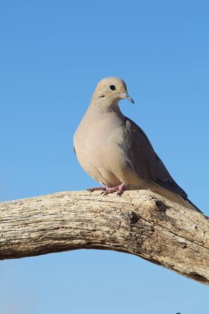 Mourning Dove photo