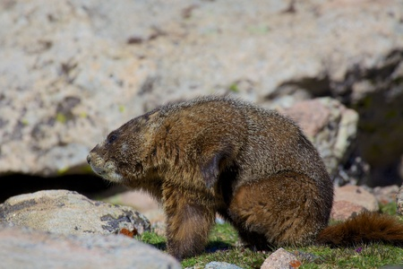 Marmot with an Itch Stock Photo