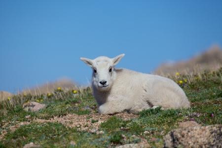 cabra montes: Cabra mont�s joven Bedded